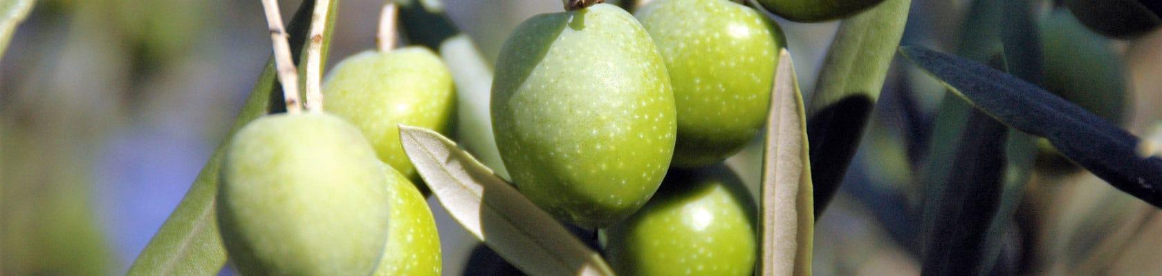 3VictorGarcia-Olives-L