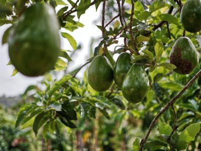 Alitropics cultivo aguacate mango